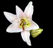 Daylily royaltyfria foton
