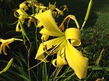 Daylily Stock Afbeelding