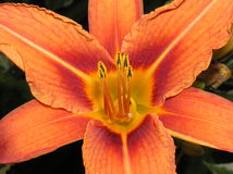daylily Royalty Free Stock Photos