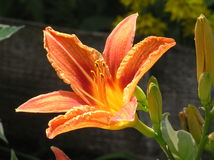Daylily. Photo of daylily Royalty Free Stock Images