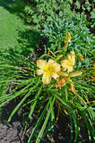 Daylily images stock