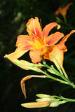 Daylily Stock Photos