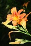 Daylily. Hemerocalis fulva - closeup view Stock Photos