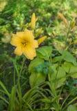 Daylily amarillo en una cama durante el riego Imagen de archivo libre de regalías