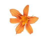 Daylily anaranjado del lirio aislado Foto de archivo