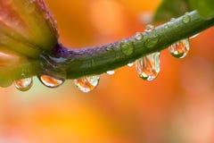 Daylily avec des baisses de l'eau Photos libres de droits