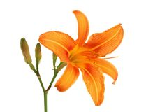 Daylily avec le bourgeon d'isolement Photos stock