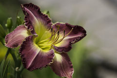 Daylily Baffin Bay. Variety in bloom. Yucaipa, California royalty free stock photography