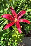 Daylily. This beautiful, red daylily is called `Red Magic. It produces blooms up to five inches. Each flower typically last no more than twenty four hours Royalty Free Stock Image