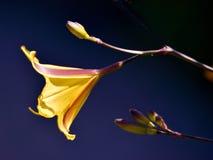daylily blomma Arkivfoton