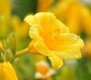 daylily blommor Arkivbilder