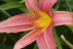 Daylily Bloom Closeup. Daylily or Hemerocallis flower closeup in full bloom royalty free stock image