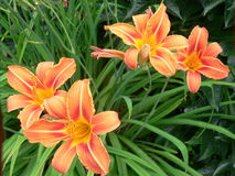 Daylily blooming Royalty Free Stock Images