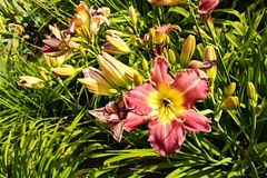 Daylily blooms Royalty Free Stock Image