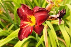 Daylily blooms Stock Photography