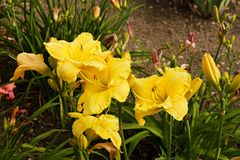 Daylily blooms Royalty Free Stock Photography