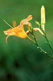 Daylily blossom with water droplets Stock Photo
