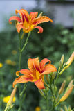 Daylily brown-yellow royalty free stock photos