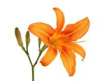 Daylily with bud isolated. Orange daylily with bud isolated on white Stock Photos