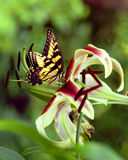 Daylily Butterfly. Daylily with a tiger swallowtail butterfly Stock Photography