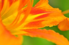 Daylily close-up Royalty Free Stock Photos