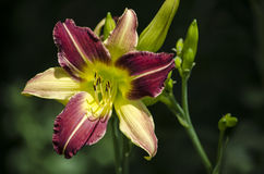 Daylily. Close-up view of a yellow and purple daylily shot in a bright sunny day on a dark natural background Stock Images