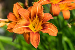 Daylily closeup. On a blurred background Royalty Free Stock Photo
