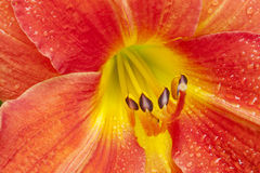 Daylily. A closeup of raindrops on a Daylily flower Stock Photos