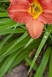 Daylily. A closeup of raindrops on a Daylily flower Royalty Free Stock Photography