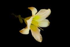 daylily czarny zbliżenie obrazy stock