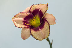 Daylily Daring Deception Royalty Free Stock Image