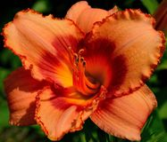 Daylily, Day Lily Plants Royalty Free Stock Images