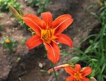 Daylily de lujo de la flor, Hemerocallis Fulva en el primer del jardín Flor comestible Los Daylilies son plantas perennes ellos imagenes de archivo