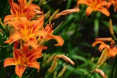 Daylily del fulva del Hemerocallis, rojizo o anaranjado fotos de archivo