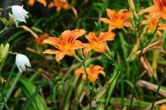 Daylily del fulva del Hemerocallis, rojizo o anaranjado fotografía de archivo libre de regalías