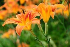 Daylily del fulva del Hemerocallis, rojizo o anaranjado Imagenes de archivo