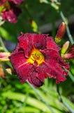 Daylily Royalty Free Stock Photo