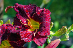 Daylily Royalty Free Stock Images