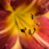 Daylily Destiny Royalty Free Stock Photo