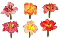 Daylily Display Stock Images