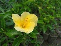 A daylily is een bloeiende installatie in de soort Hemerocallis royalty-vrije stock foto