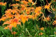 Daylily för fulva för Hemerocallis gulbrun eller orange, Royaltyfri Fotografi