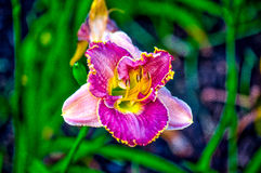 Daylily. Farmed daylily read for harvest in  Houston, TX Royalty Free Stock Image