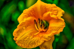 Daylily. Farmed daylily read for harvest in  Houston, TX Stock Photography