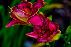 Daylily. Farmed daylily read for harvest in  Houston, TX Royalty Free Stock Photography