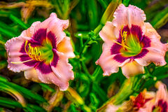 Daylily. Farmed daylily read for harvest in  Houston, TX Stock Images