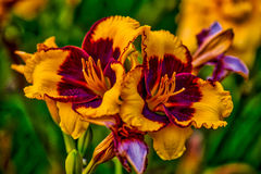 Daylily. Farmed daylily read for harvest in  Houston, TX Stock Photo