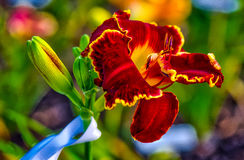 Daylily. Farmed daylily read for harvest in  Houston, TX Stock Image