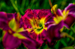 Daylily. Farmed daylily ready for harvest in  Houston, TX Royalty Free Stock Photography