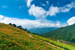 Daylily field in the mountain Royalty Free Stock Photos